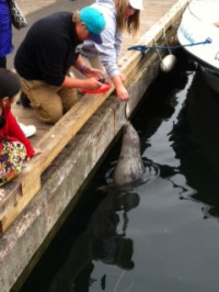 image of people feeding lucy the harbour seal one of the free things to do in victoria bc