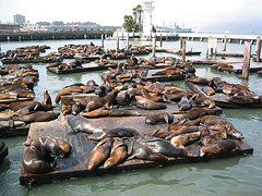 image of the seals at pier 30 one of the Free Things and Stuff to Do in San Francisco