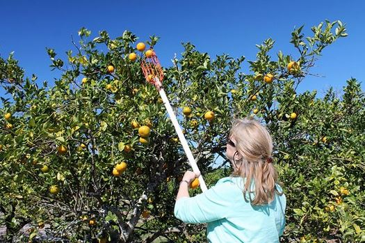 picking your own oranges at the Showcase of Citrus farm one of the cheap, fun things to do in Orlando Florida