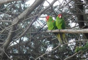 image of the wild parrots of telegraph hill one of the free, cheap, fun things to do in San Francisco