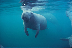 image of a manatee at blue spring park one of the Cheap, Fun Things to See & Do in Orlando