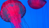 image of the jelly fish exhibit at the Ripley's Aquarium of Canada in Toronto