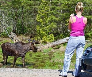 image of a girl taking a picture while moose watching at the side of the road in Algonquin Provincial Park