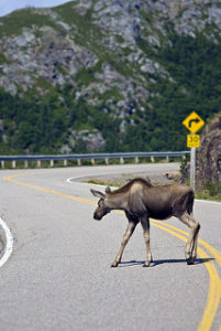image of a moose sighted crossing the road in Algonquin Provincial Park