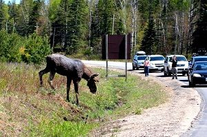 image of a group of people and cars stopped along the road in Algonquin Provincial Park to do some moose watching