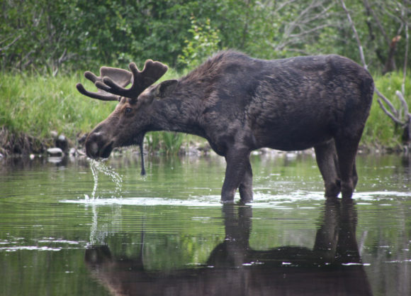 image of a moose spotted while drinking from the side of the road in Algonquin Provincial Park