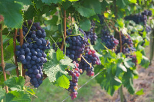 image of grapes on the vine at a wine tour, one of the free, cheap fun things to in Prince Edward County, Ontario