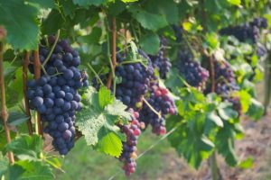image of the grapes grown at one of the wineries you can visit for a tasting, one of the cheap, fun and free things to do in Prince Edward County