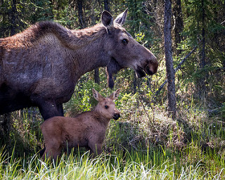 moose and calf in algonquin provincial park