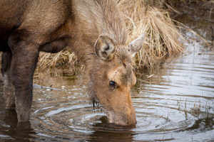 moose drinking the salt water that has gathered in a ditch off the road in Algonquin Provincial Park