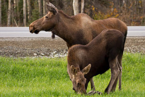 two moose grazing by the side of the road in Algonquin Provincial Park