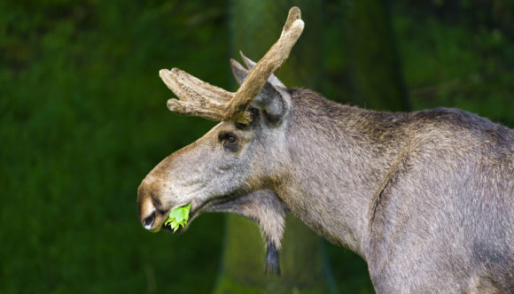 moose eating leaves at the side of the road in Algonquin Provincial Park